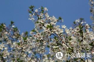 杭州最美樱花跑道!