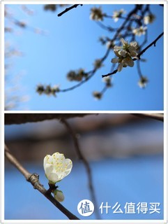 清明下的桃花,洁白,美丽