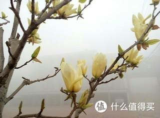 清明假期,当地全线雾气笼罩,本想踏花寻柳,无奈,闲来,自家后院的玉兰。随手拍。