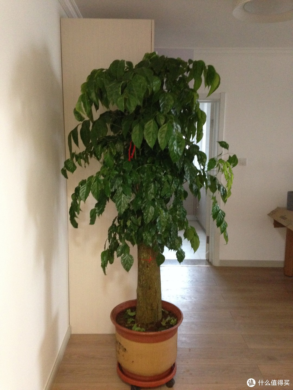 家有大树初长成--会开花的幸福树