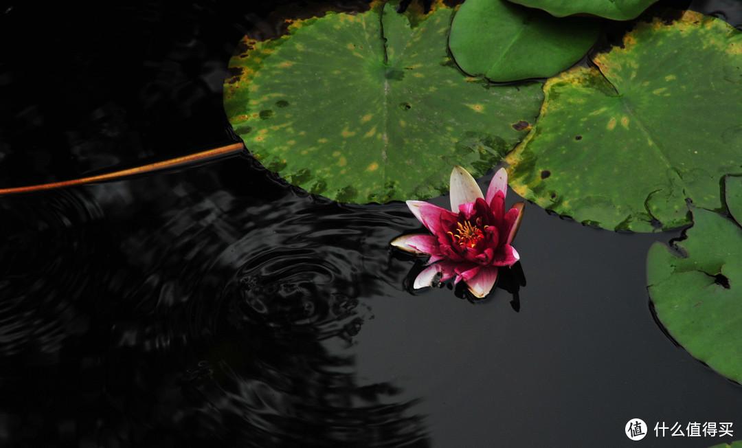 问水 2010年6月16日摄于四川大学望江校区荷花池
