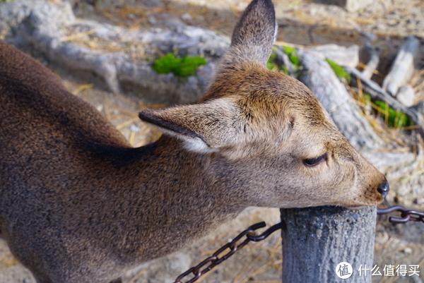 红叶季日本关西九日(大阪/奈良/京都/城崎温泉) 篇二:这里的主角是萌萌哒鹿!—奈良喂鹿