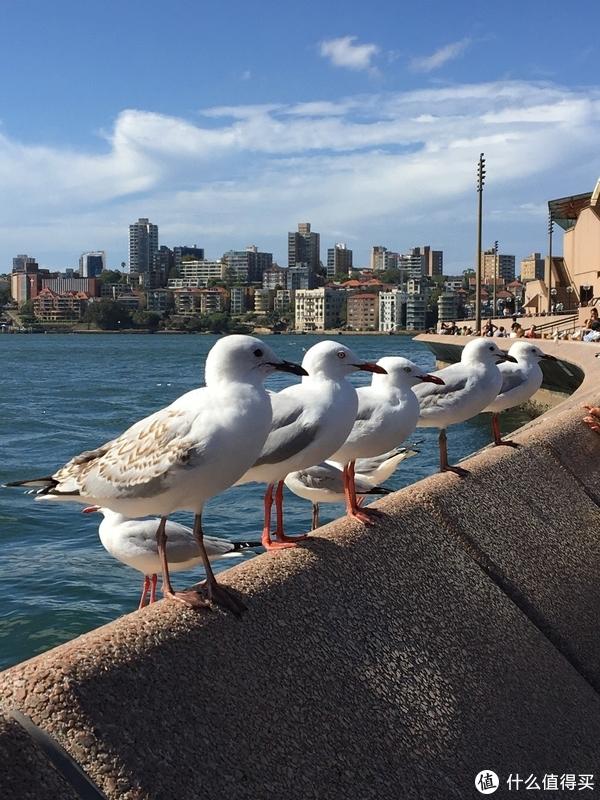 悉尼歌剧院外的海鸟们