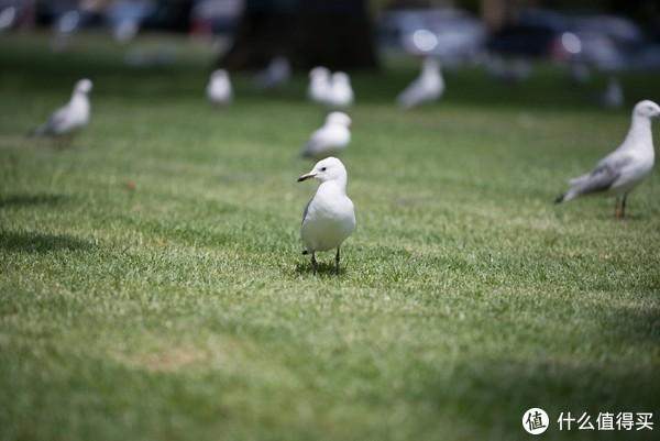 草地上悠闲的鸟(NikonD800+Nikon24-70、Tamron70-200)