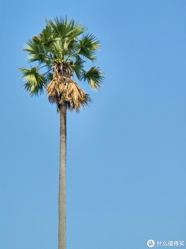 ▲糖棕树,割雄蕊取水