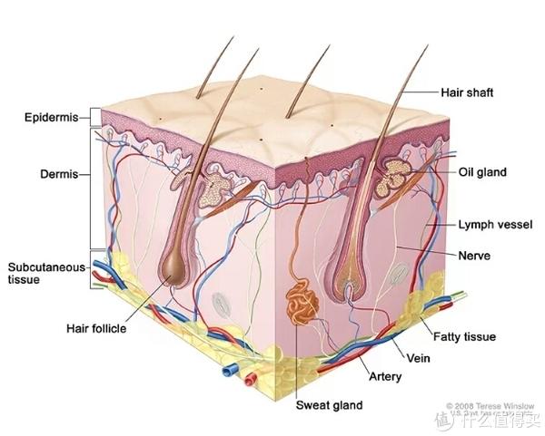 皮肤结构图(图片引用)