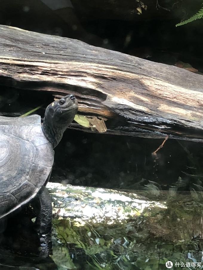 会笑的乌龟