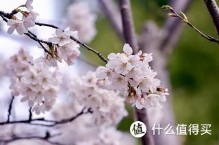 苏州常熟环城河边的樱花,每年三月下旬本地市民都会络绎不绝的来这赏樱。楼主也会带着一堆设备来此拍摄。如图使用佳能5D3+70-200拍摄
