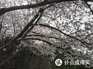 樱花都盛开了,美到震撼人心,忍不住拍了一些照。看,勤劳的小蜜蜂在工作