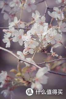 """顾村公园樱花节。周末两天有30W人游园伤不起,遂挥泪工作日请假前往。早上8店入园约300人,中午就2W了。樱花节当然要拍樱花,可以顾村公园固然樱花多,但是比起无锡鼋头渚,还是缺少了亭台楼阁标志性景物的点缀,无法给人一见便有""""这里是顾村公园""""的深刻印象。纵使地广花繁,也就不过尔尔了。"""