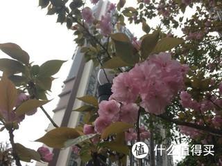 小区里的樱花陆陆续续开放了,大团大团的花朵。。