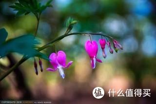 唯有牡丹真国色 花开时节动京城