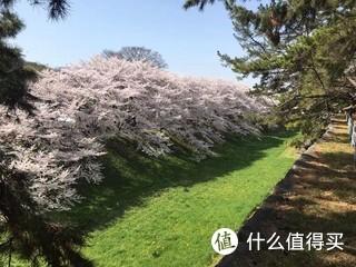 日本名古屋樱花季,满开时节,跟国内樱花感觉完全不同,大路两边全是盛开的樱花,大片粉红色花海,非常壮观。