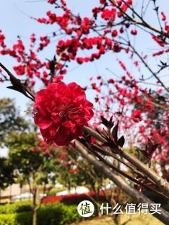 你是枝头一滴甘露,我屏住呼吸,不敢采撷。从冬天开到春天的梅花,是这季节的一抹亮色。
