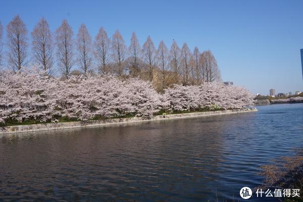 护城河边的樱花