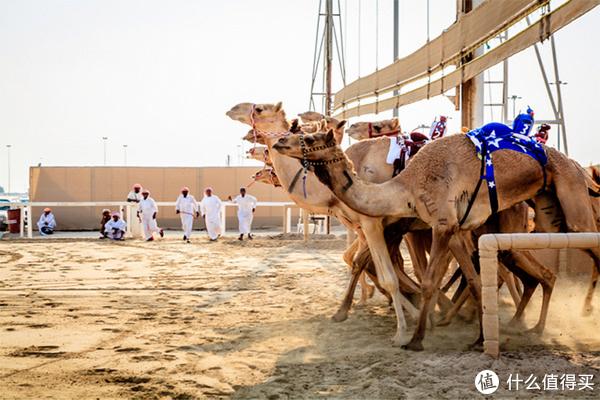 2018年物种日历 篇十六:骑单峰骆驼的时候坐哪儿,是驼峰顶上吗?