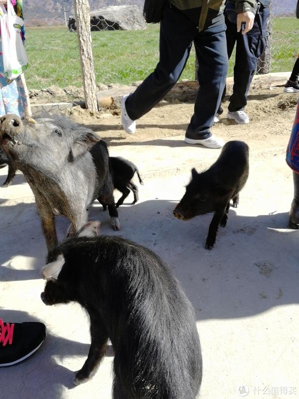 满村跑的藏香猪