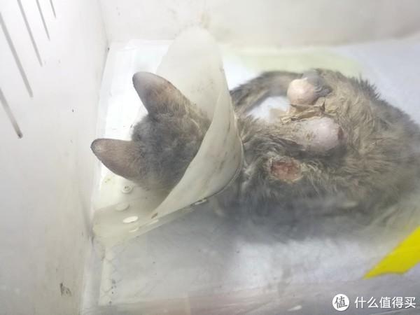这只流浪猫是上午做的手术,四条腿被截肢了三条,能活着就是奇迹