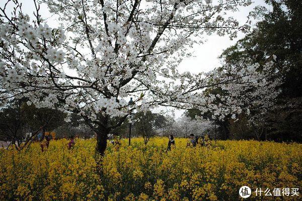 磨山的樱花,因为之前的简修有水印张大妈不让放只能放jpg直出了