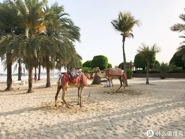 酒店骆驼夫妇(不确定是不是夫妇)