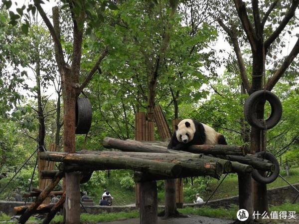 变身萌滚奶妈!体验大熊猫铲屎官的成都之行