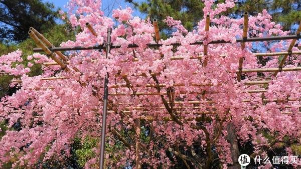 ▲半木之道,樱花