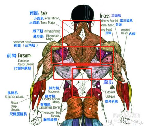 背部肌群介绍图