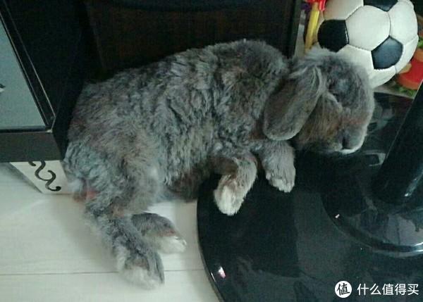 我家垂耳兔宝宝的生活日记绝对萌翻你!想了解养兔的值友看过来!