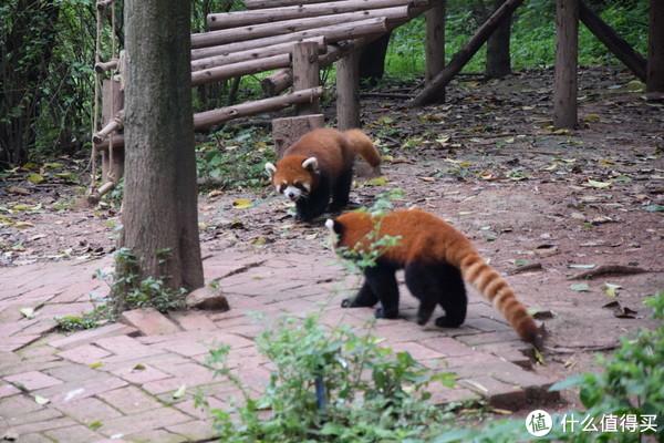太可爱了,完全被小熊猫给圈粉了,怎么办
