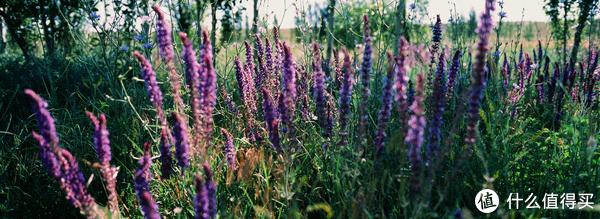 路边的紫色小花
