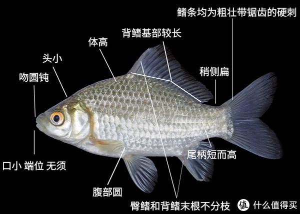鲫鱼证件照。原图:Bounthob Praxaysombath;标注:雪梨