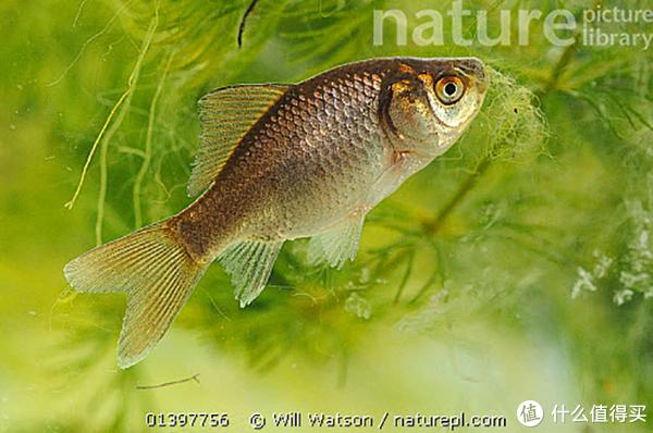 小河沟中也有它们的身影。图片:Will Watson / Naturepl.com