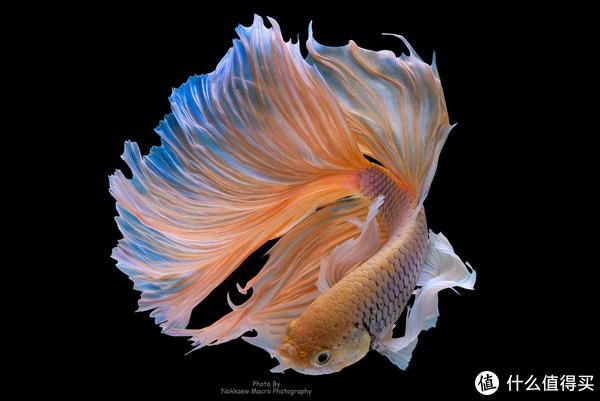能用迷鳃直接呼吸空气的暹罗搏鱼。图片:Nokkaew Macro Photography / Flickr