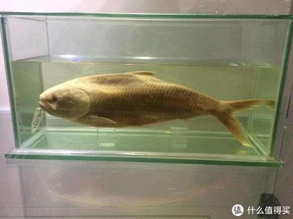 鲥鱼的活体已很难见到,图为中科院水生所的标本。图片:少侠小黄鸡