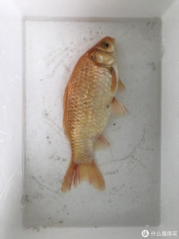 太美的鲫鱼舍不得炖,于是有了金鱼