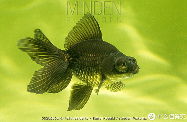 黑色的金鱼个体。图片:Wil Meinderts / Buiten Beed