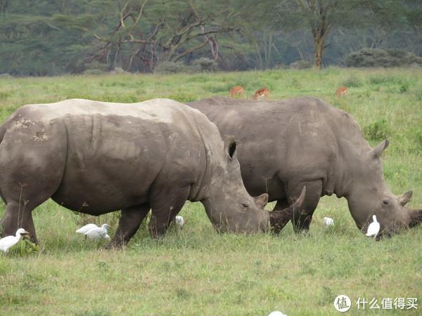 欢度非洲七夕的犀牛情侣