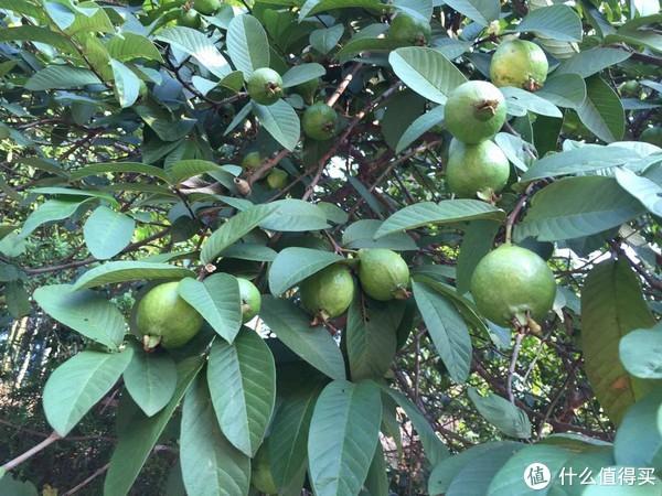 山庄门口的番石榴树,果满树头。