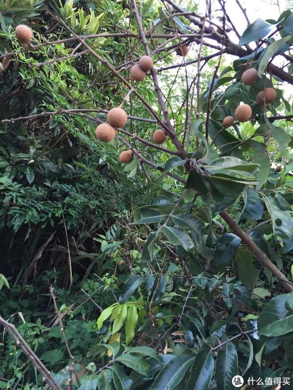 路边龙眼(桂圆)树,市场10元4斤。
