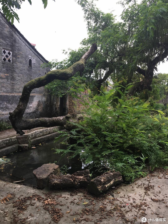 村子里的古树