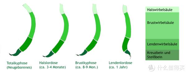新生儿脊椎发育图