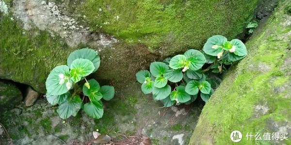野生的海棠花,是鸟儿的糞便带来的种子