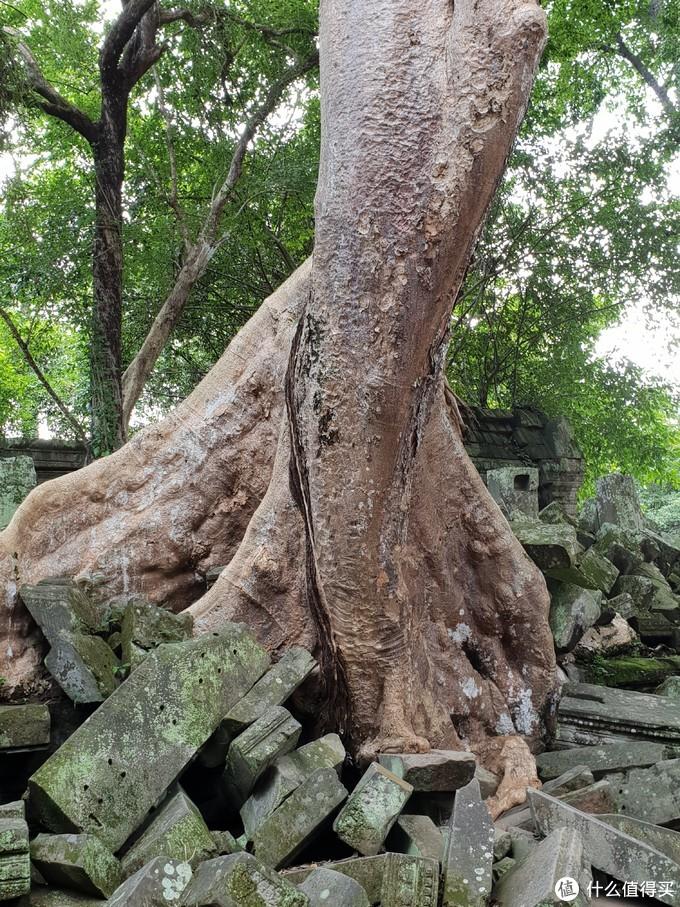 拔地而起的参天大树
