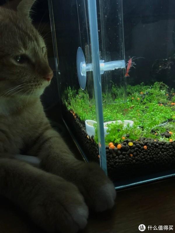 水草缸 篇一:吃草从草缸开始—新手小白书桌30方小草缸养成记