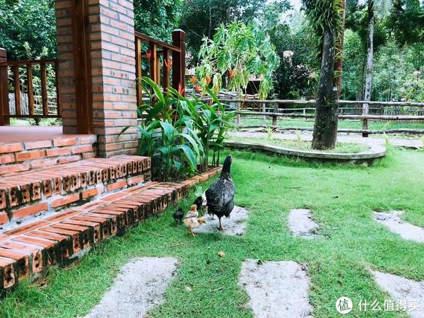 像不像农家乐?儿子第一次看见母鸡带着小鸡在外面闲逛