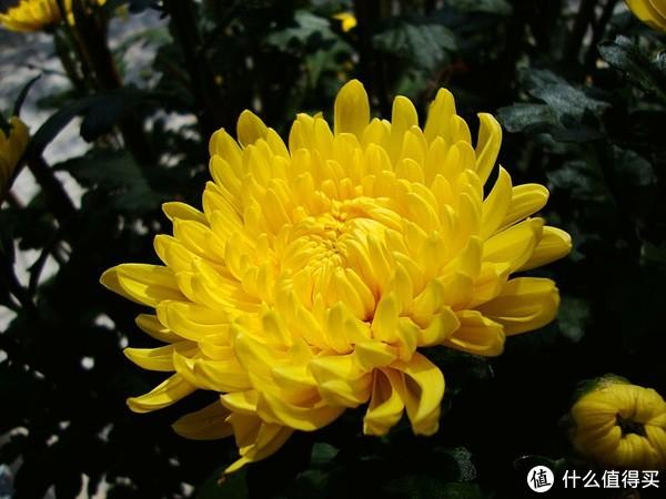 经典的黄菊。图片:Prenn / Wikipedia