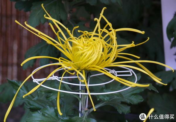 寻常少见的针管型管瓣菊。图片:peaの植物図鑑