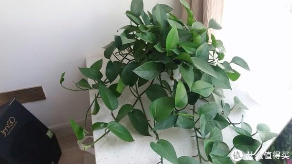 新家飘窗上养了半年多的绿萝已经开始攀藤