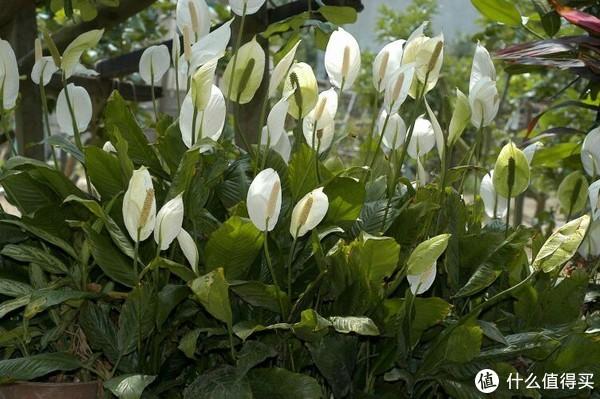 群养开花也颇为壮观