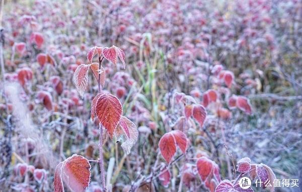 寒冷的早晨,植物都挂霜了
